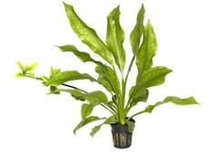 """Tropica Эхинодорус Блехери"""" - живое растение для аквариума"""""""