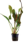 """Tropica Эхинодорус Ред Даймонд"""" - живое растение для аквариума"""""""
