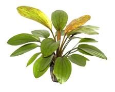 """Tropica Эхинодорус Розе"""" - живое растение для аквариума"""""""